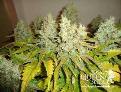 Royal queen seeds gorilla