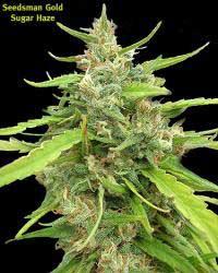 Seedsman Sugar Haze (10 seeds)